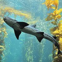 Leopard shark, Kelp Forest, Fishes, Triakis semifasciata at the Monterey Bay Aquarium Wolf Eel, Leopard Shark, Forest Silhouette, Kelp Forest, Monterey Bay Aquarium, Live Animals, Animals Sea, Forest Animals, Sea Otter