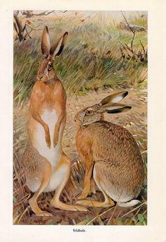 1869 rabbit hare original rare antique animal by antiqueprintstore, $75.00