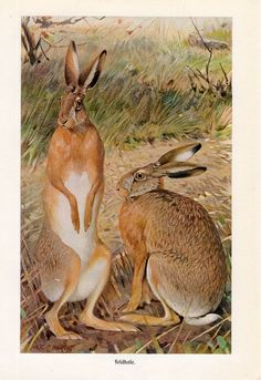 1869 lapin lièvre original rare antique animal print