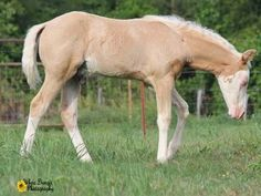 Schmersal Reining Horses :: Pale Face Dunnit