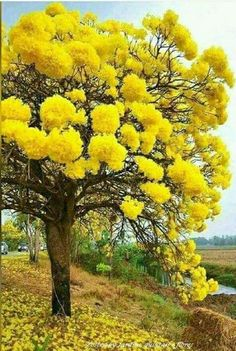 yellow mimosa tree