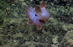 A dumbo octopus was seen during an exploration of the Atlantis II Seamount Complex