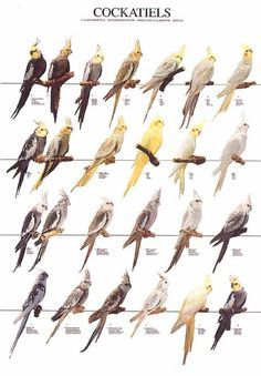 cockatiels poster justforbirds.net everything reminds me of birds
