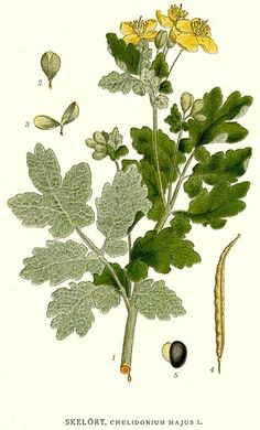 Chelidonium majus by Carl Axel Magnus Lindman Botanical Prints, Natural Healing, Cactus Plants, Plant Leaves, Flora, Nature, Gardening, Fitness, Medicinal Plants