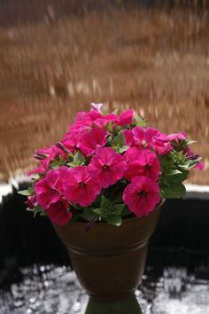 Petunia  Perfectunia™ Neon Pink