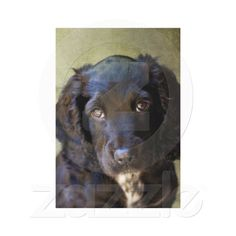 Sprocker Spaniel Canvas Prints