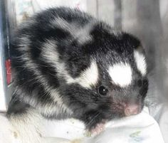 Cute Skunk | skunk 3 300x255 Looking for a pet? Sniff out a skunk if you may