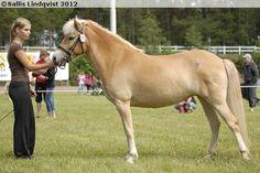 Gotland Pony - mare Fawn