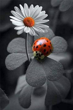 Ideas For Black And White Nature Photography Color Splash Lady Bug Splash Photography, Color Photography, Black And White Photography, Animal Photography, Photography Ideas, Photography Accessories, Photography Lighting, Photography Backdrops, Macro Photography