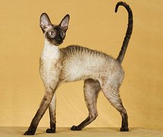 Pointed Cornish Rex cat