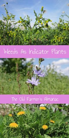 Learn about weeds as indicator plants with The Old Farmer's Almanac