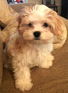 Riley the Havanese Mix