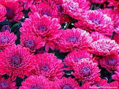 pinkflowes