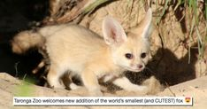 The Smallest Fox in the World Just Made Its Adorable Debut at the Taronga Zoo