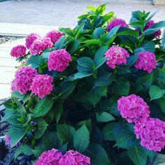 Začátek dalšího roku ..... :-) | Modrastrecha.cz Hydrangea, Album, Plants, Hydrangeas, Plant, Hydrangea Macrophylla, Planets, Card Book