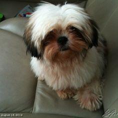 Lunaと #ドライブ #shihtzu #dog #philippines #フィリピン #犬 #シーズー