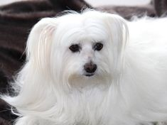 Non-shedding dogs top 10 dog breeds that dont shed Top 10 Dog Breeds, Dog Breeds That Dont Shed, Best Dog Breeds, Best Dogs, Maltese Dogs, Dogs And Puppies, Teacup Maltese, Doggies, Cute White Puppies