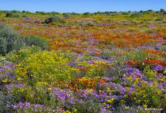 Most Colourful Places on the Globe - By The wild flowers of Namaqualand, South Africa. By Martin Heigan