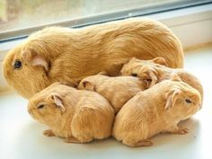 GUINEA PIG AND BABIES