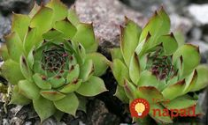 House leek Seeds ( Sempervivum Tectorum ) Hens and Chicks-mat-forming succulent