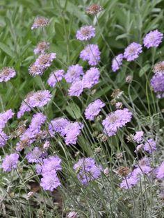 Scabiosa Columbaria, Lavender Care, Coastal Gardens, Eco Friendly Bags, Landscaping Plants, House Plants, Perennials, Landscape, Nature