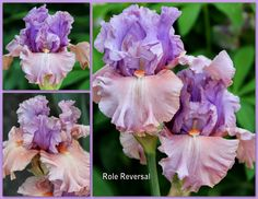 World of Irises: BY REQUEST: COLLAGES--Making Visual Records of your Tall Bearded Irises