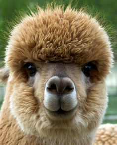 alpaca - Google Search
