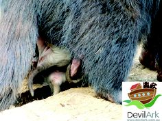 Tasmanian devil joeys hanging out of mother's pouch at Devil Ark