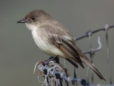 Eastern Phoebe © Stephen Ramirez, Clear Creek, Texas, January 2010, http://www.flickr.com/photos/coinpurse/4249571848/