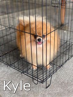 Carousell - Snap to List, Chat to Buy Sale On, Pomeranian, Pomeranians