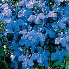 Riviera Sky Blue Lobelia.: Native Indians used Blue Lobelia as a treatment for syphilis as well as less severe ailments. Tea made with this flower helps to relieve fevers, coughs and colds, and digestive problems