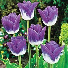 Tattoo tulip