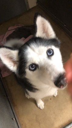 My Husky, Super Cute Animals, Alaska, Siberian Huskies, Puppies, Princess, Dogs, Friends, Animals And Pets