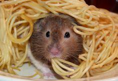 Hamster eating pasta
