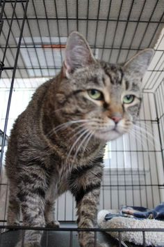 Mae is an 8 years old declawed cat brought to a shelter by her family's relative. She is very sad and depressed & beginning to give up any hope. She is overwhelmed by all the other cats at the shelter & just sit at the window and wait. She need is a foster or adopter to show that there IS hope. Will you be her angel? Please hurry - Mae is at Huntington Station, NY - adoption@goldenpawsociety.org - more info https://www.facebook.com/goldenpawsociety/