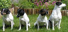 gardshund.jpg Dansk-Svensk  Dansk Svensk-gårdshund (Dinamarca y Suecia Farmdog) es un pura raza de perro que tiene su origen en Dinamarca y el sur de Suecia , pero ahora se ha convertido en popular en todo Escandinavia . DSF es una antigua raza nativa que vivió históricamente en las granjas en la parte oriental de Dinamarca y parte más al sur de Suecia (es decir, a ambos lados de The Sound , el estrecho canal que separa la isla danesa de Zelanda desde el extremo sur de la península…