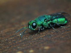 The World's Most Colorful Winged Creatures ~ Cuckoo Wasp