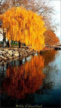 This willow (and many more) sweep the surface of the Lake Leman in Lutry (Lavaux, Vaud) in Switzerland.. Vol-au-Vent