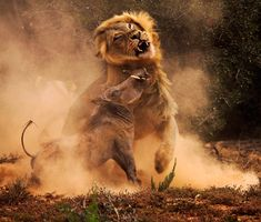 A warthog and a lion in combat.