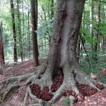 Fir-cone seeds under a beech tree, Germany 2017 Fir Cones, Beech Tree, Abstract Painters, Environmental Art, Land Art, Wood, Artist, Nature, Plants