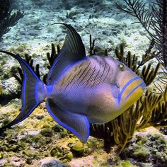 An adult Queen Triggerfish (Balistes vetula) cruising along an outer reef in the remote reaches of the Bahamas. These are large fish as adults. Dinner-plate sized or Life Under The Sea, Under The Ocean, Sea And Ocean, Underwater Creatures, Underwater Life, Ocean Creatures, Colorful Fish, Tropical Fish, Poisson Mandarin