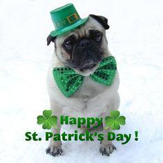 St. Patricku0027s Day Animals | Animals Pug St. Patricku0027s ...