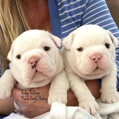 Bulldog cuteness x 2 Bulldog Meme, Bulldog Pics, Bulldog Puppies, Puppies And Kitties, Cute Puppies, Pet Dogs, Dog Cat, Doggies, Teacup Bulldog