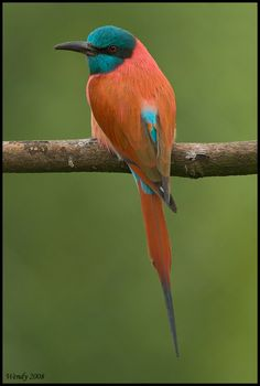 The SOUTHERN CARMINE BEE-EATER occurs across sub-equatorial Africa, ranging from KwaZulu-Natal and Namibia to Gabon, eastern Democratic Republic of the Congo and Kenya.