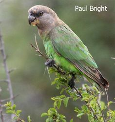 Brown-headed Parrot(Poicephalus cryptoxanthus)