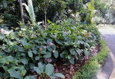 Medinilla multiflora