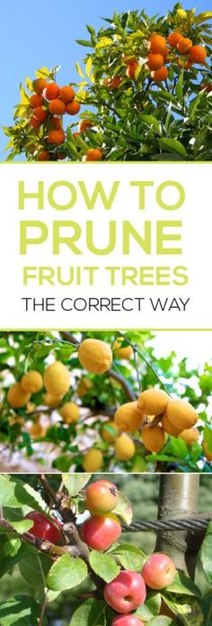 How to Prune Fruit Trees the Correct Way. It is simple, and very important to do this correctly for a large held of fruit.