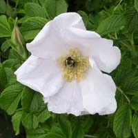 White Rugosa Rose Shrub