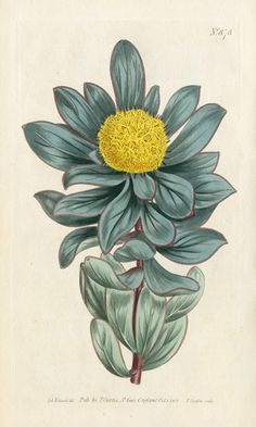 Globe-Flowered Protea, Curtis Botanical Prints 1787-1826