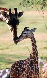 Giraffe's are also native to the savannas. Grassland Biome, Grassland Habitat, Science Projects For Kids, Science For Kids, Savanna Biome, Animal Habitats, Out Of Africa, Biomes, African Animals